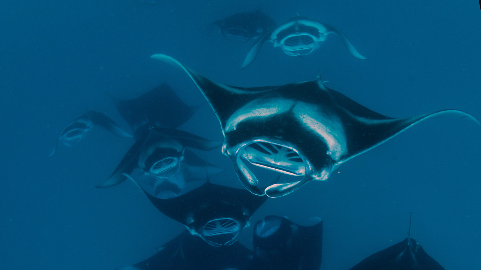 manta ray diving Maldives