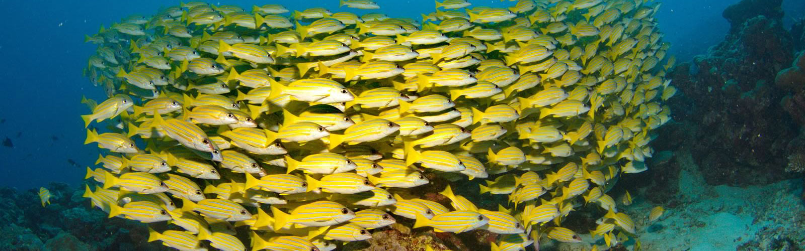 Maldives Snorkelling Marine Life Snappers