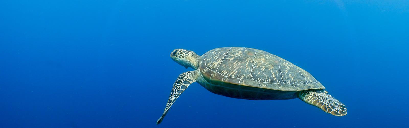 Sea turtles Maldives
