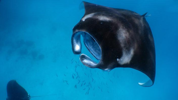 Hanifaru Bay Manta Snorkelling Maldives