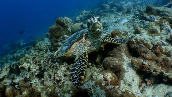 Maldives Excursions Turtles Dolphins